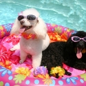 Should Your Dog Swim in Your Pool?